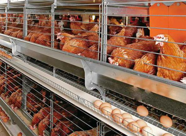 выращивание курицы как бизнес