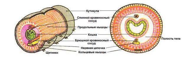 Кровеносная система дождевого червя замкнутая