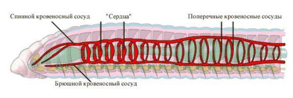 Строение кровеносной системы дождевого червя