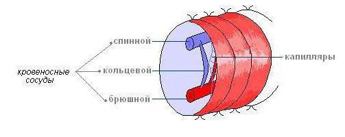 Какаяа кровеносная система у дождевого червя