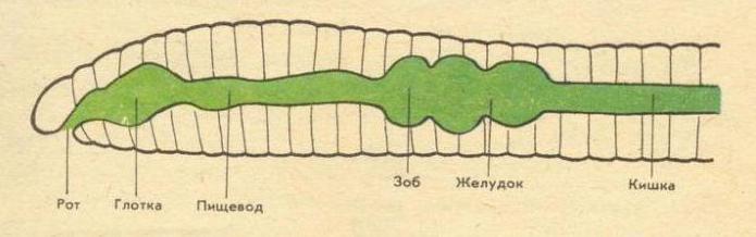 Функции кровеоносной системы дождевого червя
