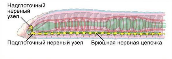 Пищеварительная, кровеносная и нервная система дождевого червя