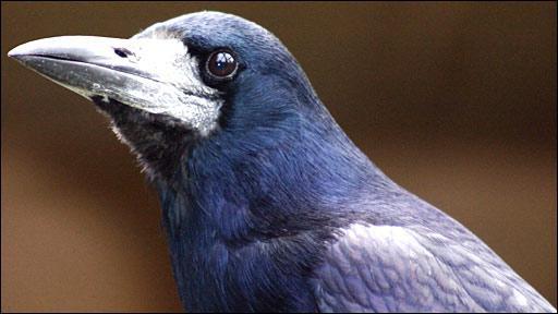 Перелетные птицы. Названия для детей. Грач