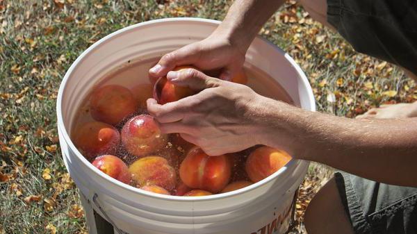 Вино из персика в домашних условиях простой