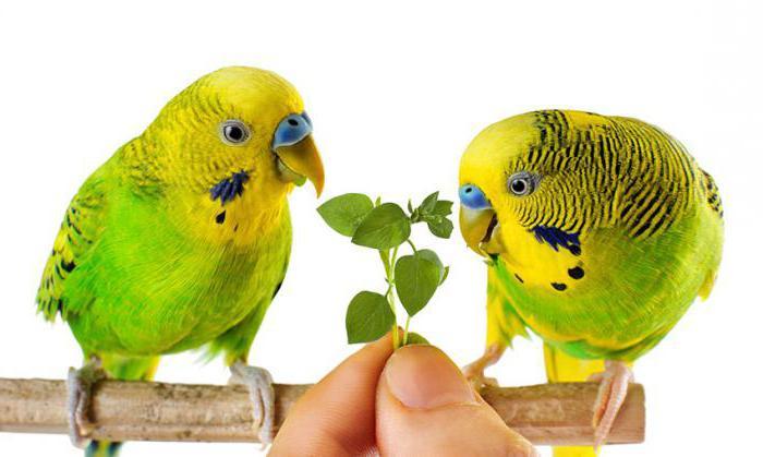 волнистый попугай питание уход