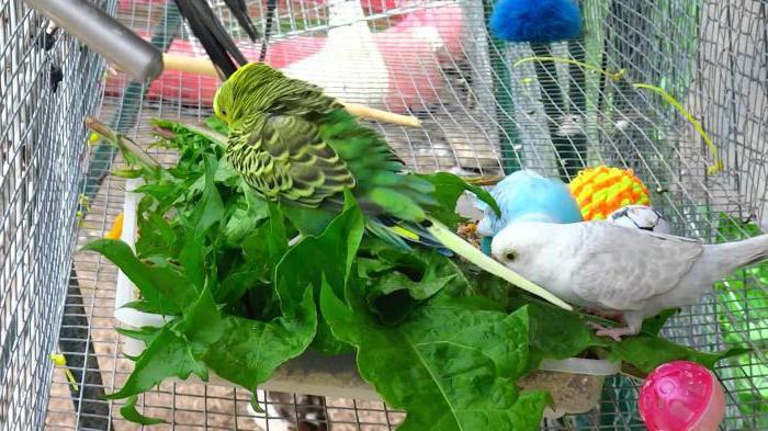 питание волнистых попугаев в домашних условиях