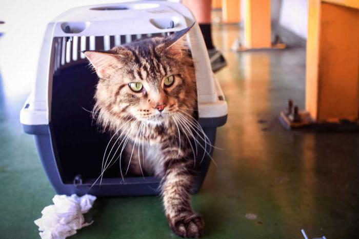 как приручить дикого котенка к дому