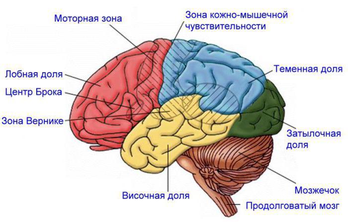 нервная система подразделяется на центральную и периферическую
