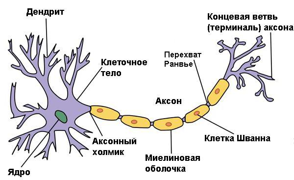 центральная периферическая вегетативная нервная система