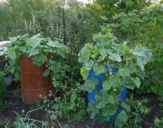 Выращивание фасоли в бочке 97