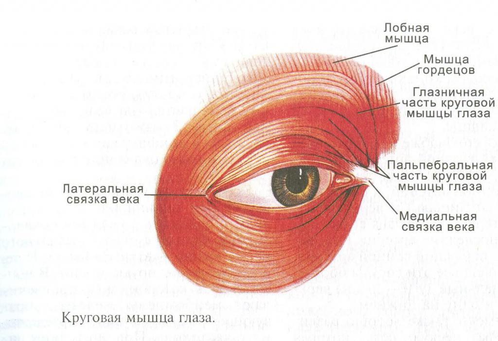 мышцы шеи человека