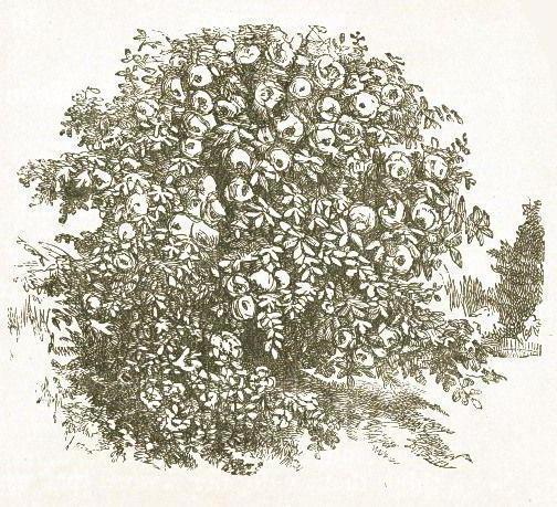 1587525 Как нарисовать калину? Как нарисовать ветку и куст калины карандашом?