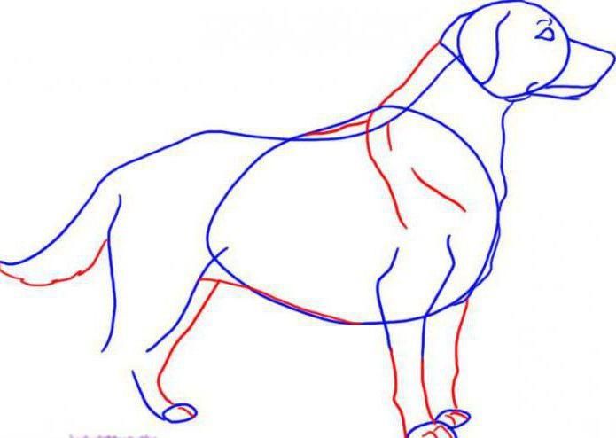 Как нарисовать лабрадора поэтапно