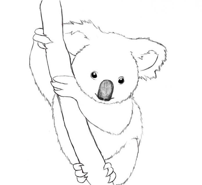 рисунки коалы