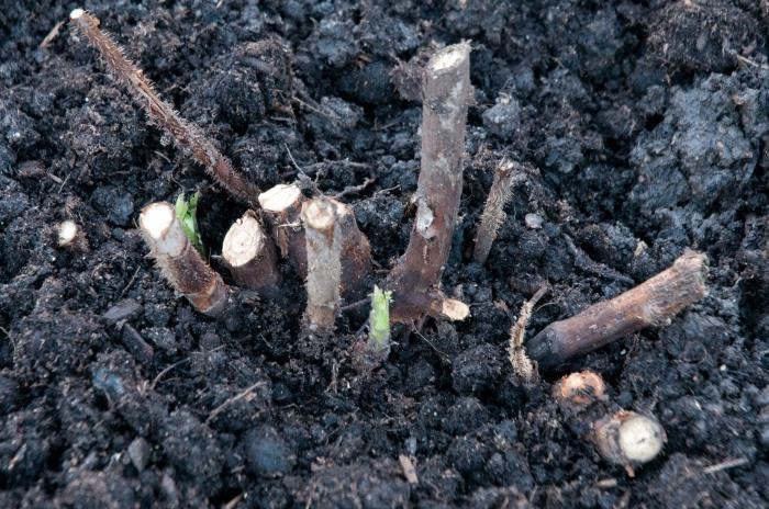 Подготовка малины к зиме: кратко о главном