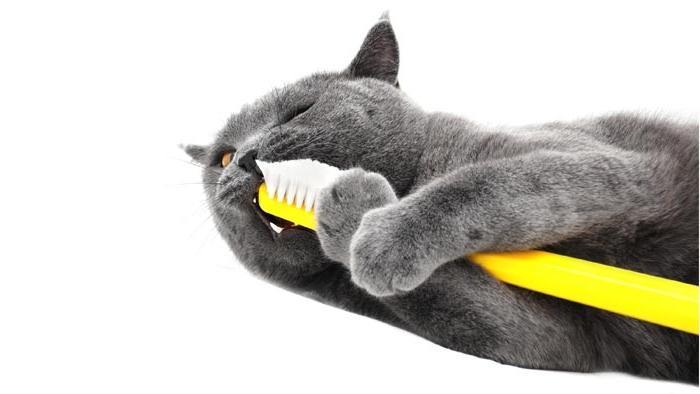Как коту почистить зубы в домашних условиях - Новости, обзоры, ремонт