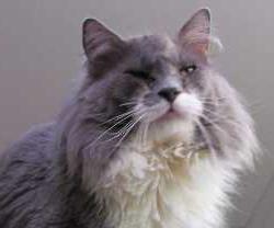 почему слезятся глаза у кошек