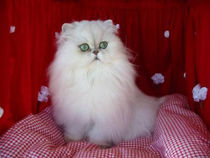 у шотландской кошки слезятся глаза