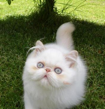 у персидской кошки слезятся глаза