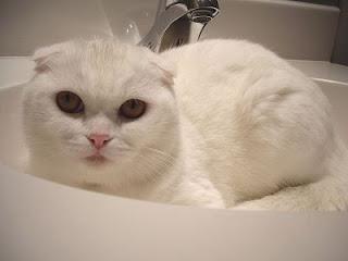 у вислоухой кошки слезятся глаза
