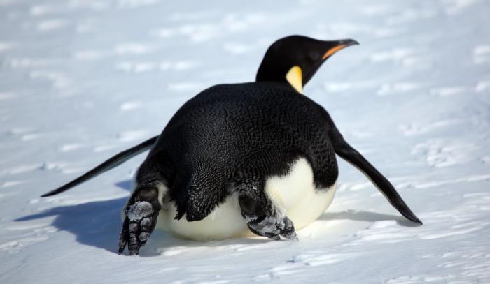 пингвин это млекопетающее