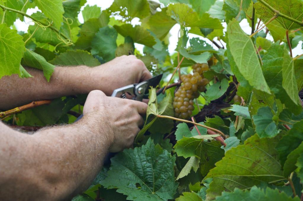 Когда собирают виноград