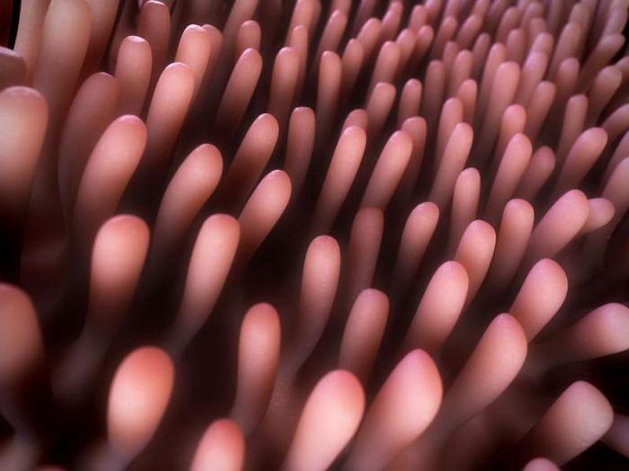 какую функцию выполняют кишечные ворсинки в пищеварительном