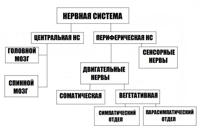 классификация нервных систем