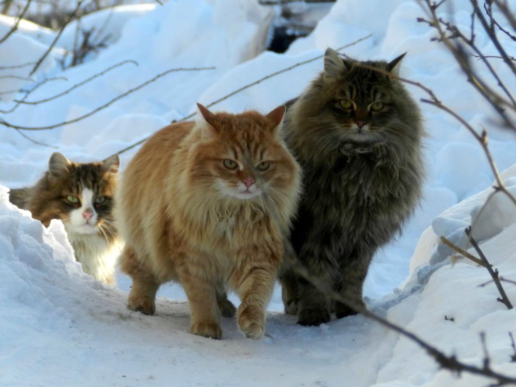 которые предоставляют лесная сибирская кошка фото так много