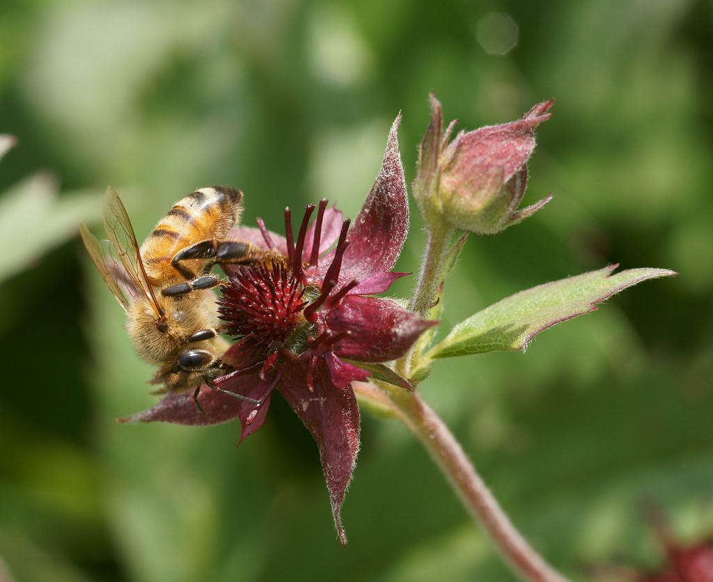 Цветок сабельника