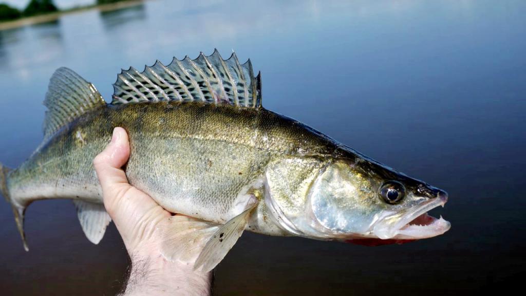 Мая, судак картинки фото рыба