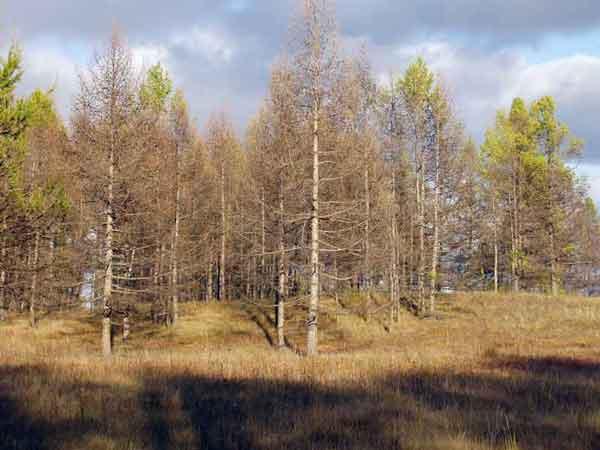 лес после шелкопряда
