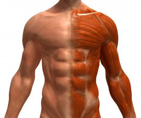 Топография работающих мышц эффективное использование гребков руками и ногами возможно в том случае, если