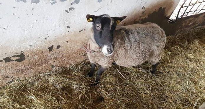 коза чешской породы характеристика