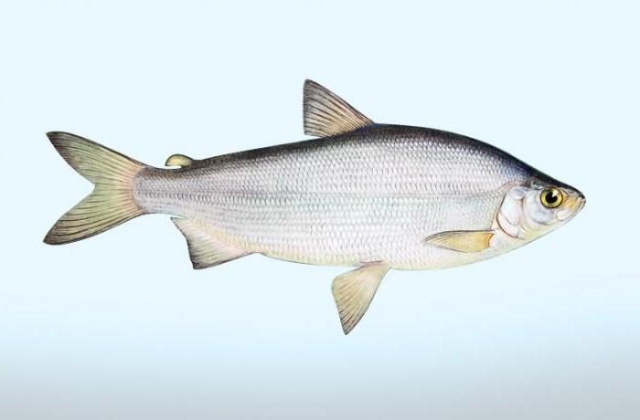 Рыба пелядь где обитает в россии
