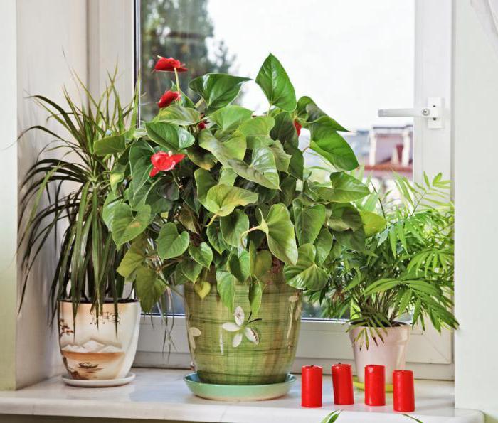 полив комнатных цветов перекисью водорода