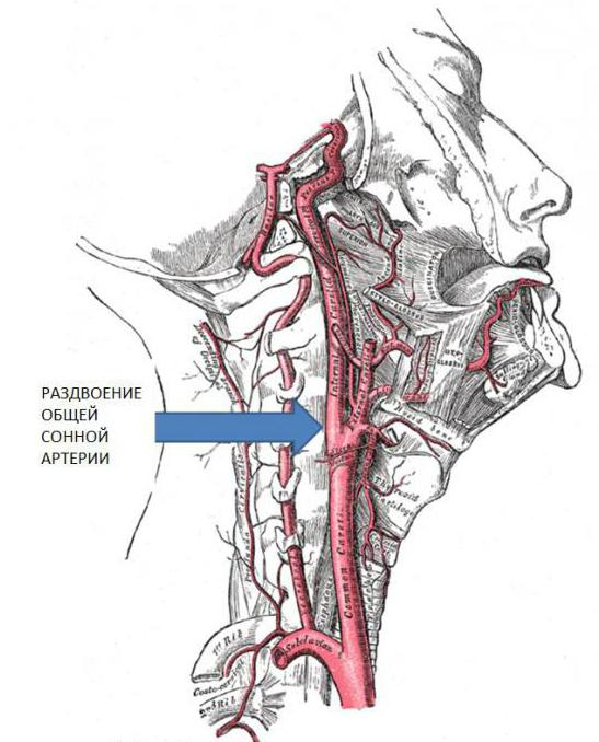 Картинка сонной артерии
