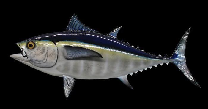 Тунец что это за рыба