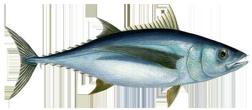 Тунец это морская рыба