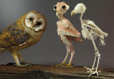 скелет совы