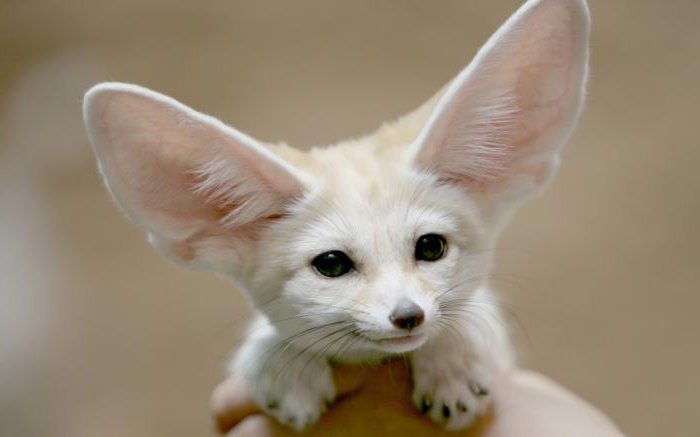 сколько людей умеют шевелить ушами
