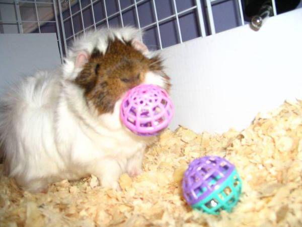 игрушки для морских свинок