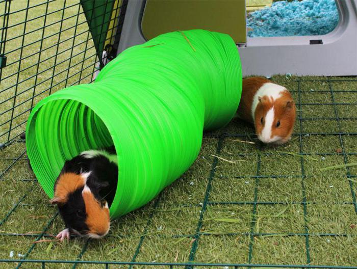 игрушки для морских свинок фото