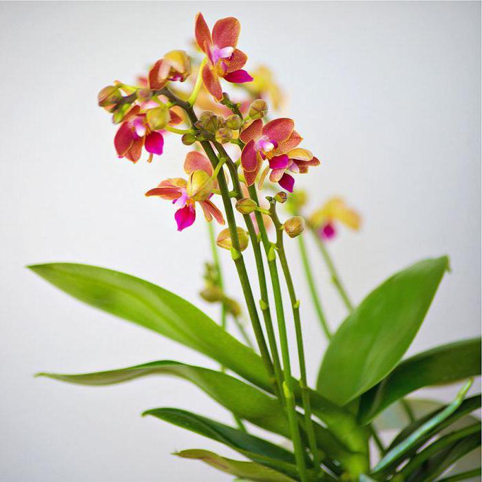 Мультифлора орхидея уход в домашних условиях