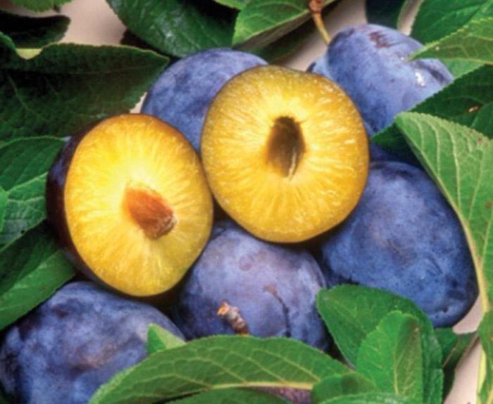 слива Яичная синяя (описание сорта, фото)