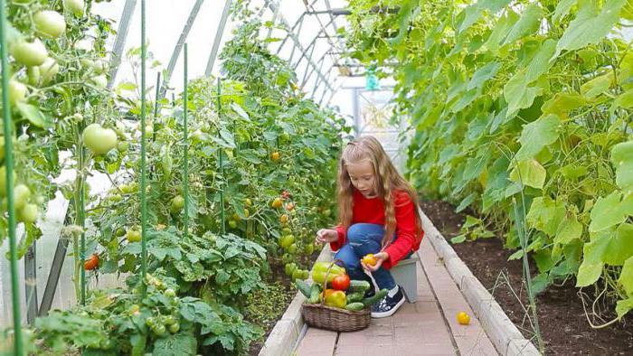 совместные посадки огурцов и помидор в теплице