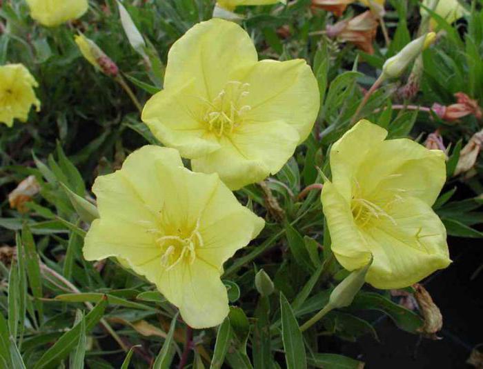 Выращивание энотера розовая 88
