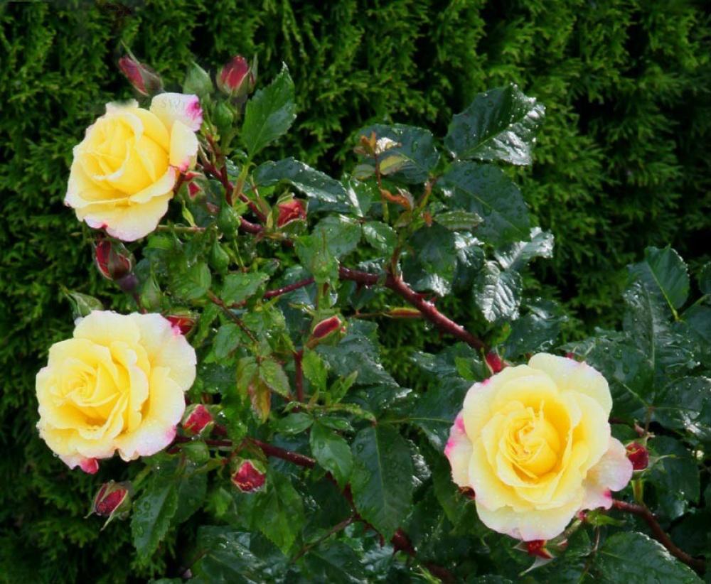 Роза Ангажемент Саженцы купить Фото, описание и отзывы