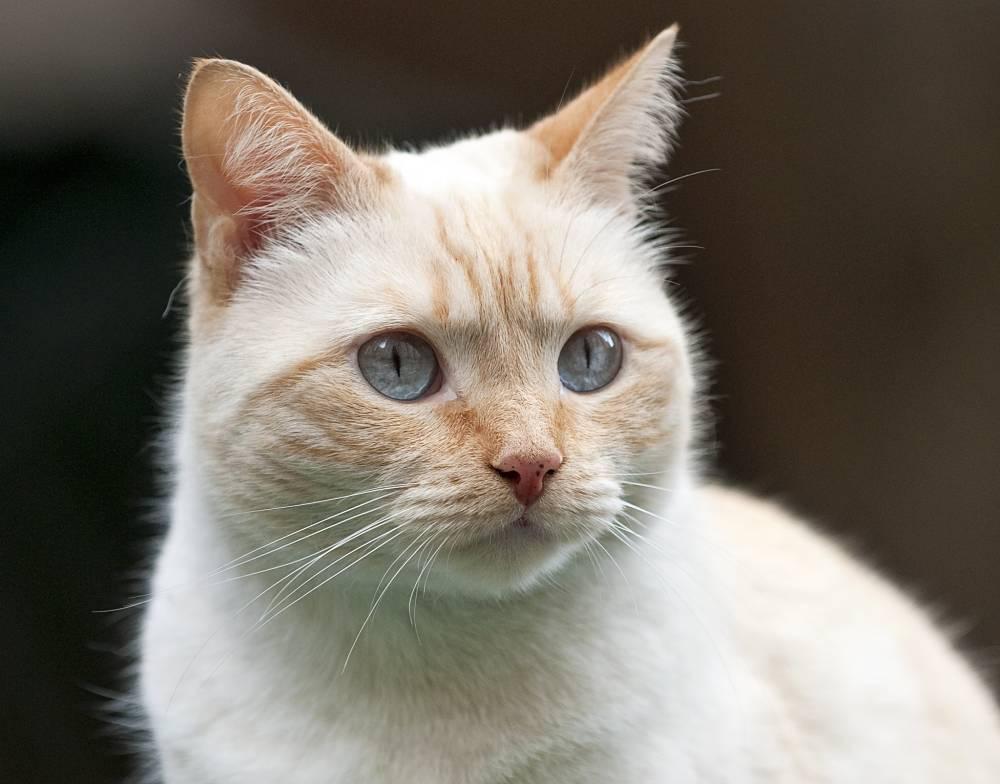 Крем пойнт кошка фото