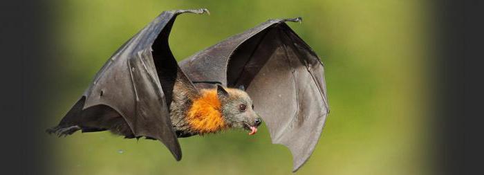 летучая мышь домашнее животное